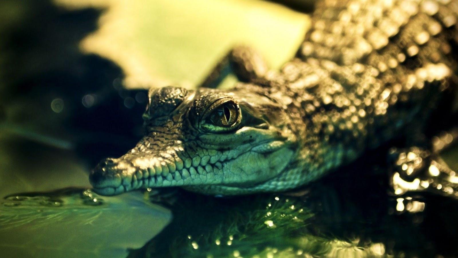 Nice Alligator HD Wallpapers Download animal wallpaper
