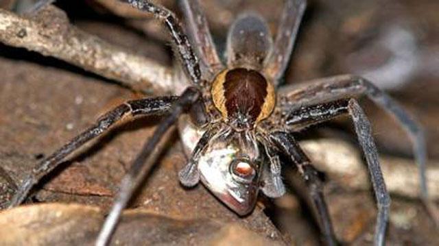 laba-laba makan ikan