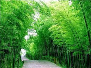 Pohon bambu tanaman peneduh
