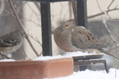 "View two of three images atop this entry. This picture shows two birds standing on a garden shelf during a snowfall. A Northern mockingbird is on the left and a Mourning dove is on the right.  These bird types are featured in my book series, ""Words In Our Beak."" Info re my books is included within another post on this blog @ https://www.thelastleafgardener.com/2018/10/one-sheet-book-series-info.html"