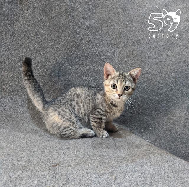 Kitten Munchkin Betina Usia 3 Bulan