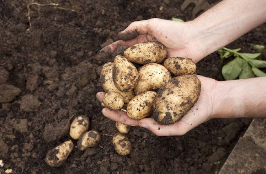 CSD-GOLD: If You Have Old Potatoes In Your Home, Throw Them Away...They Could Kill You