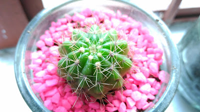 baby cactus succelent with neon pebbles inside glass cup mug- photos of the week may 2014 sexyfoosa blog -  for free use - please backlink us thanks