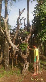 tukang pohon kamboja fosil terdekat di daerah jakarta