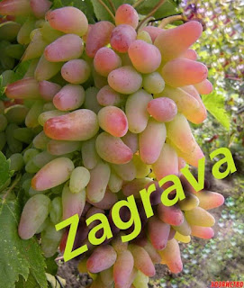Zagrava Grape