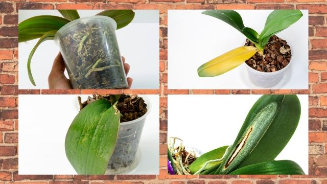 Bacterial and Fungal Disease Orchids