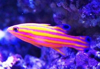 Ikan hias Candy Basslet