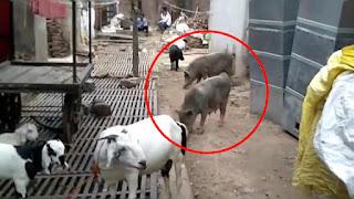 अवारा सुअरों की बढ़ती संख्या से नगरवासी त्रस्त