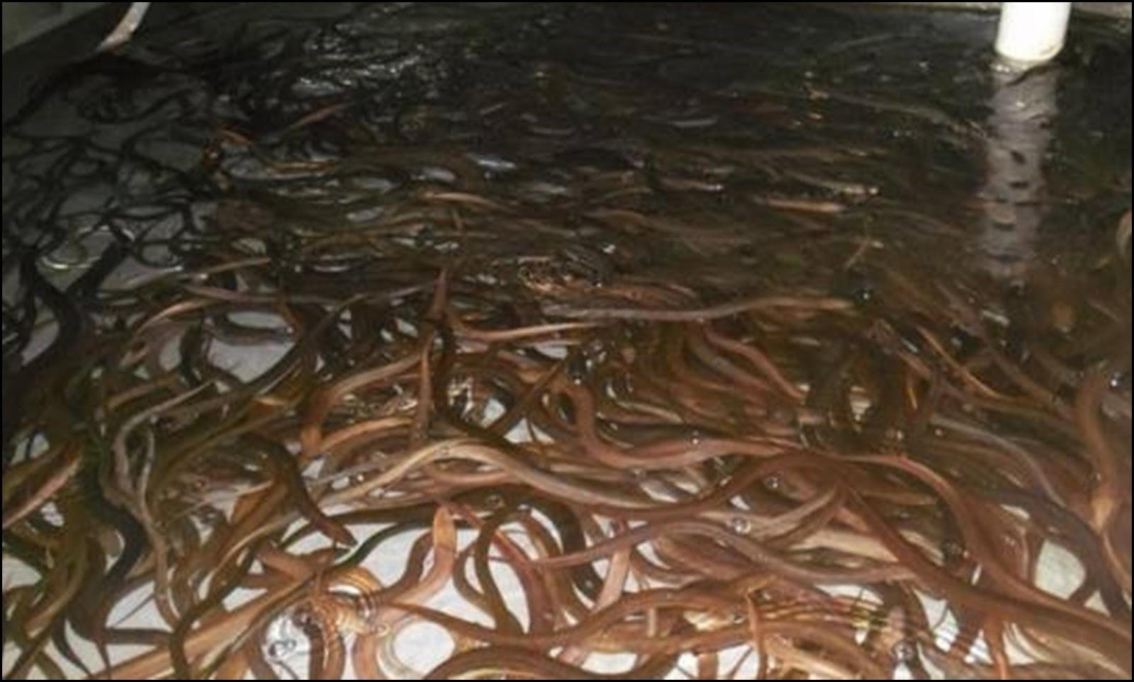 Supplier Jual Ikan Belut Jakarta