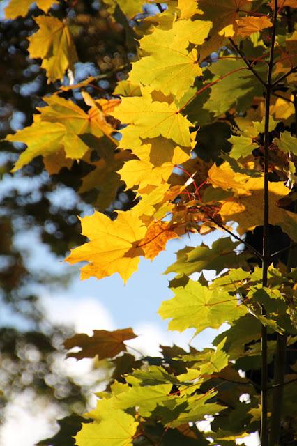 Herbstliche gelbe Blätter am Baum im Englischen Garten in Meiningen