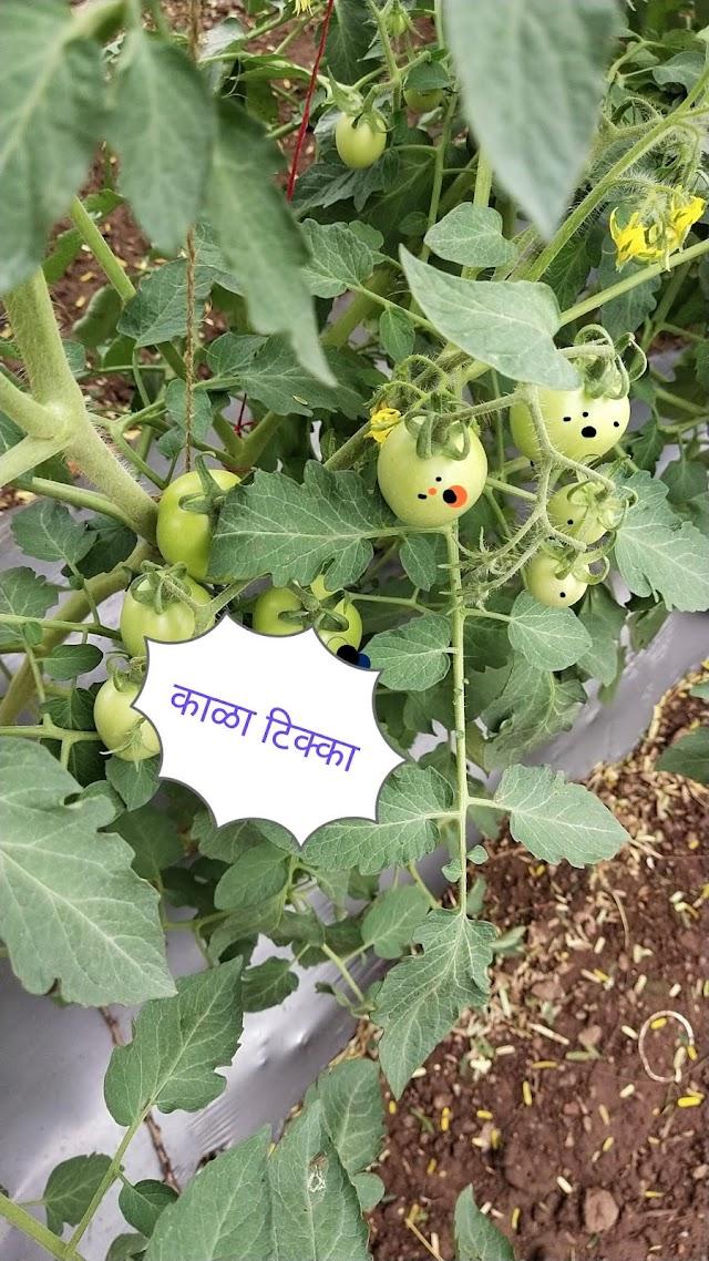 टोमॅटो पिकावरील काळा टिपक्या साठी औषधांची फवारणी,tomato farming blackspot  control spray