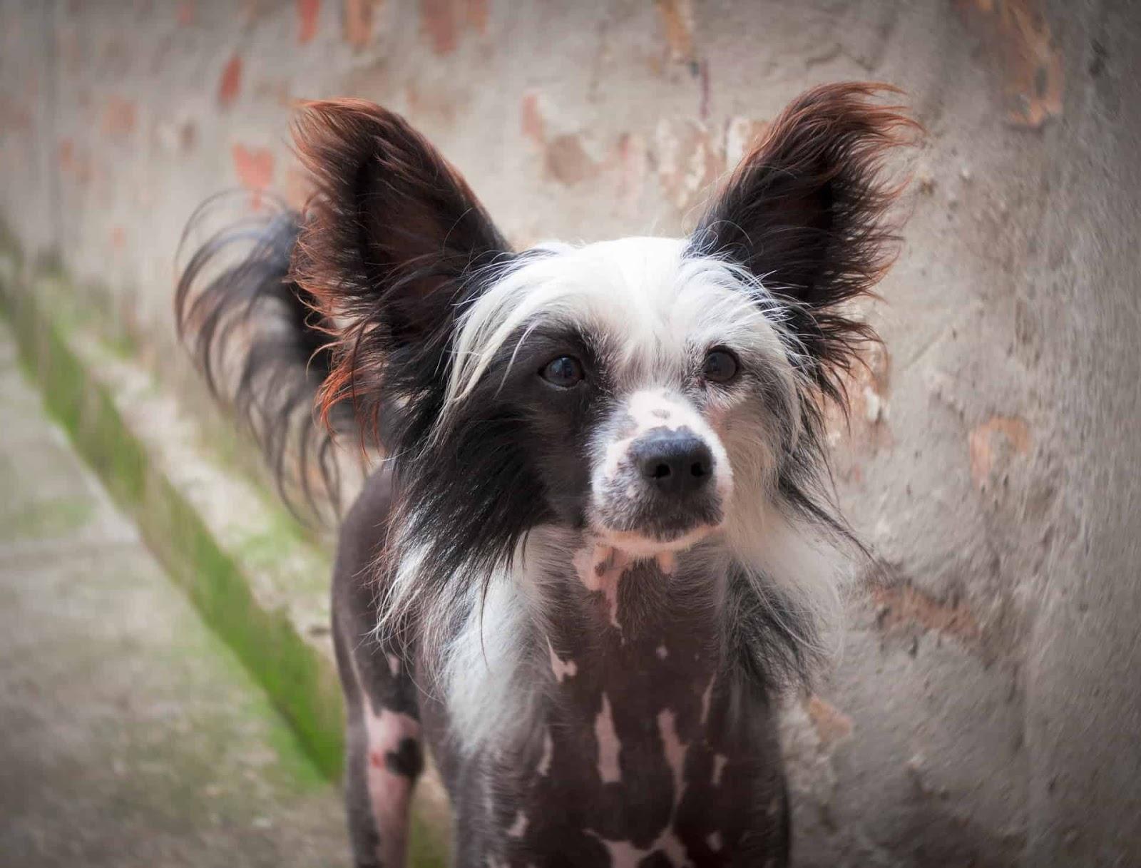 Диета Китайской Хохлатой Собаки. Кормление китайской хохлатой — питание щенков и взрослой собаки