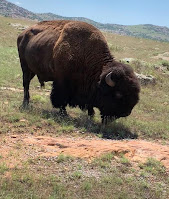 Buffalo in the Wildlife Refuge