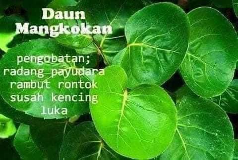 daun mangkokan pokok khasiat penawar penyakit