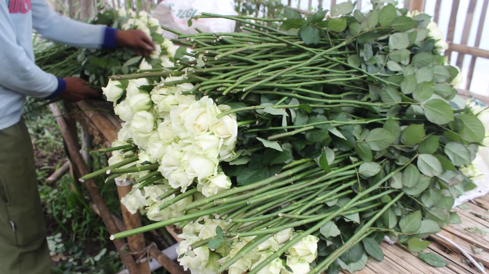 Bunga Mawar Potong Pak Asep Taryana Pe Tani Parongpong