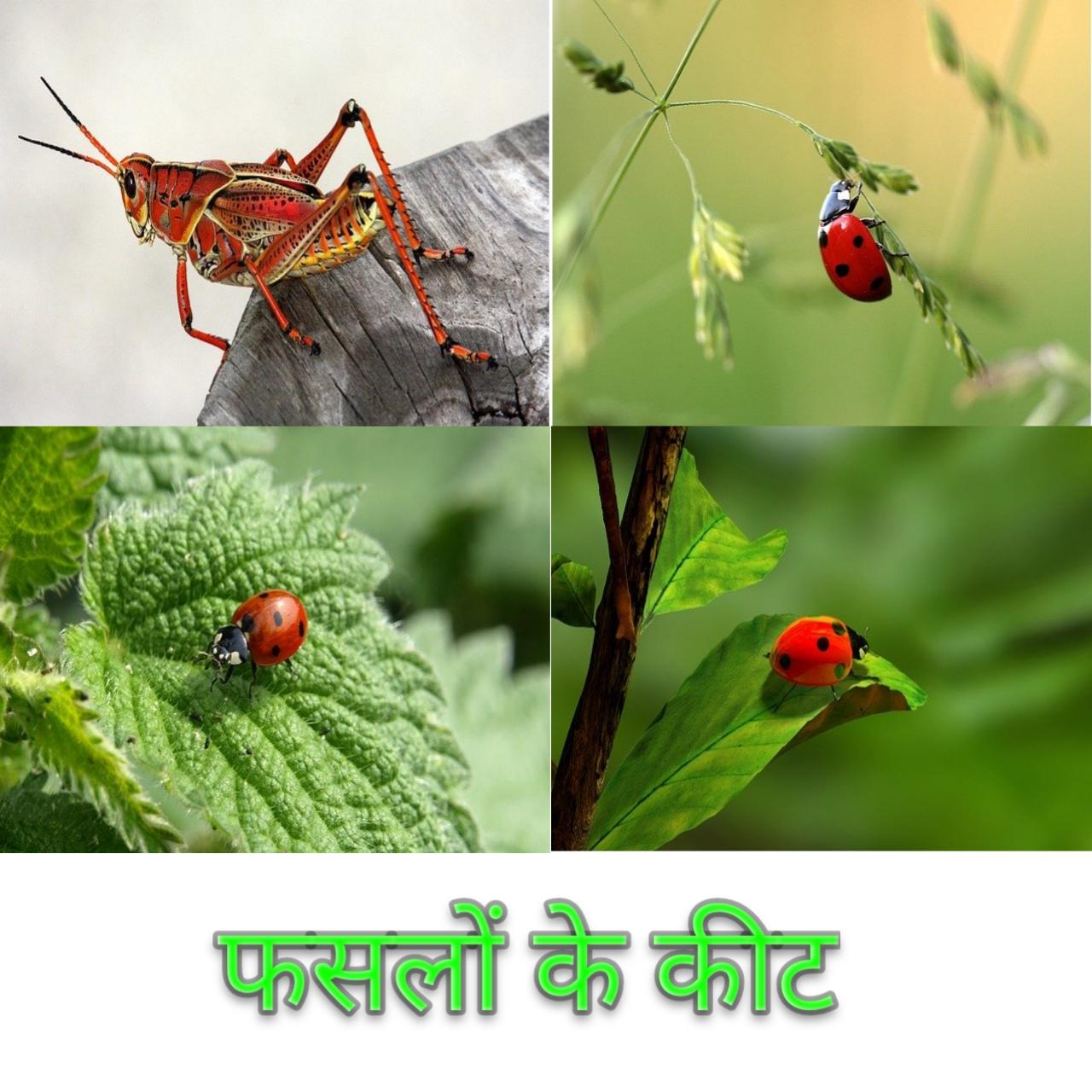 फसलों में लगने वाले कीटों का वर्गीकरण एवं उनका नियंत्रण Classification and control of insect pests