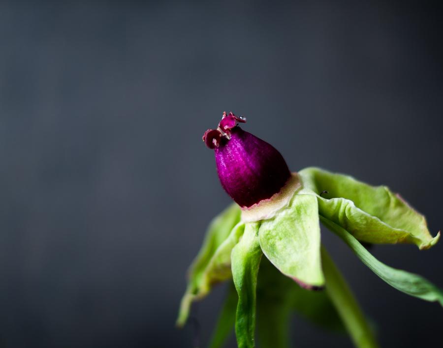Blog + Fotografie by it's me! | fim.works | Bunt ist die Welt | Blumen | verblühte  rosa-fliederfarbene Bauernpfingstrose ohne Blätter