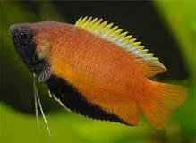 Ikan Hias Gurami Madu jantan