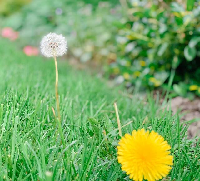 Dandelion turning white