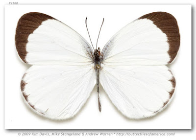Mariposa alba (Eurema albula)