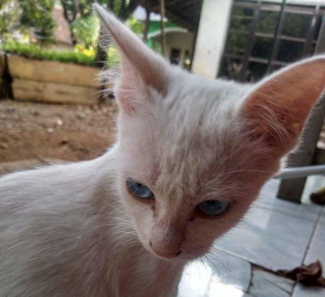 Mengenal Ciri-ciri Kucing Mixdome dan Kelebihannya Semua ...