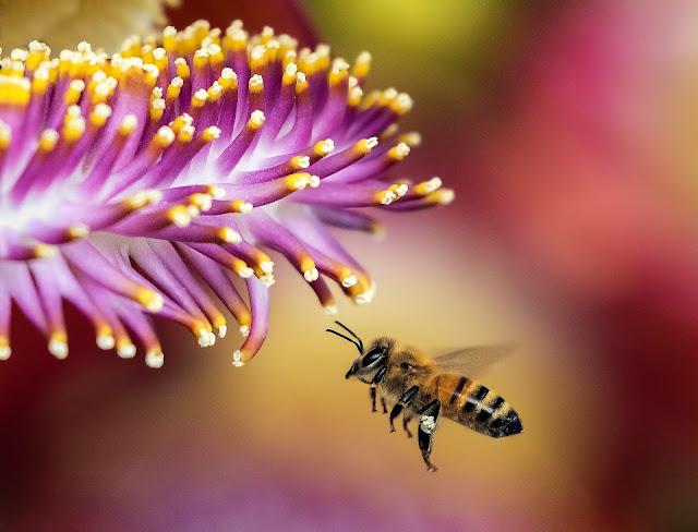 Учени разгадаха загадъчните танци на пчелите