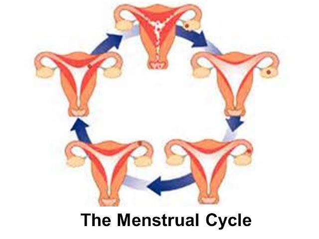 مراحل الدورة الشهرية