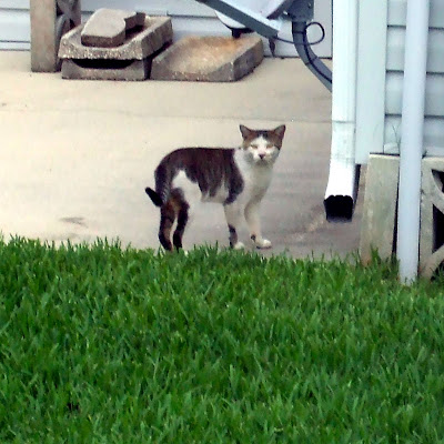 Gray and White Male Cat Missing - Probably Father of Mystic Elsie