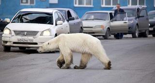 Εξουθενωμένη και πεινασμένη πολική αρκούδα περιπλανιέται σε πόλη της Σιβηρίας και ψάχνει φαγητό (βίντεο)