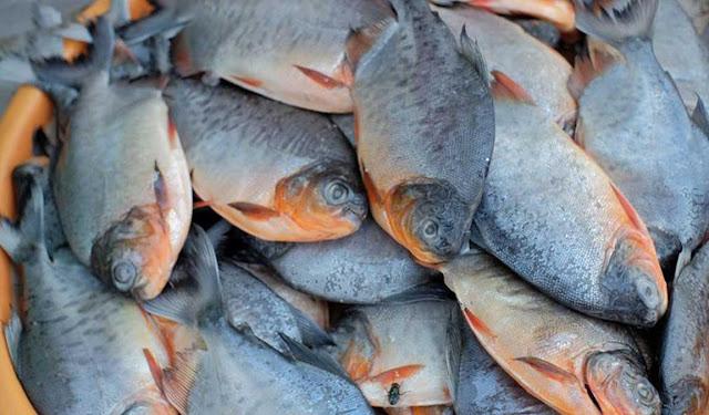 Daftar Harga Supplier Bibit dan Konsumsi Ikan Bawal di Yogyakarta