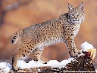 Kumpulan Fakta-Fakta Menarik Tentang Kucing Liar Amerika Utara, Bobcat