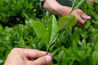 大変珍しいハート型の茶葉