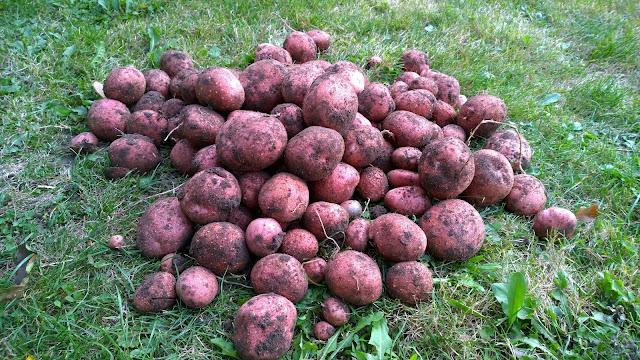 Kartoffel Setanta (c) by Joachim Wenk