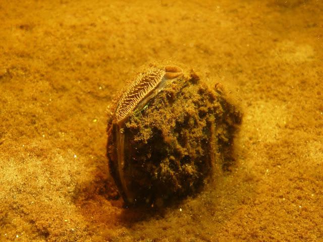Simpukka seisoo hiekkapohjassa