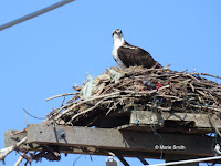 Osprey on its nest with garbage pieces – Summerside, PEI – Apr. 19, 2017 – © Marie Smith