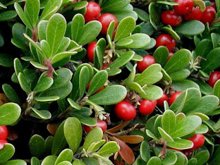 bearberry fruit images
