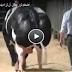 بالفيديو شاهد أضخم ثور يمكن أن تراه يدخل موسوعة جينيس