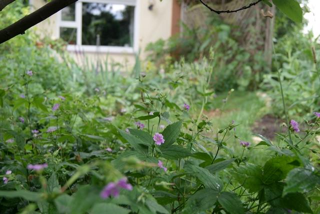 Bergwald-Storchschnabel (Geranium nodosum) blüht im Juni
