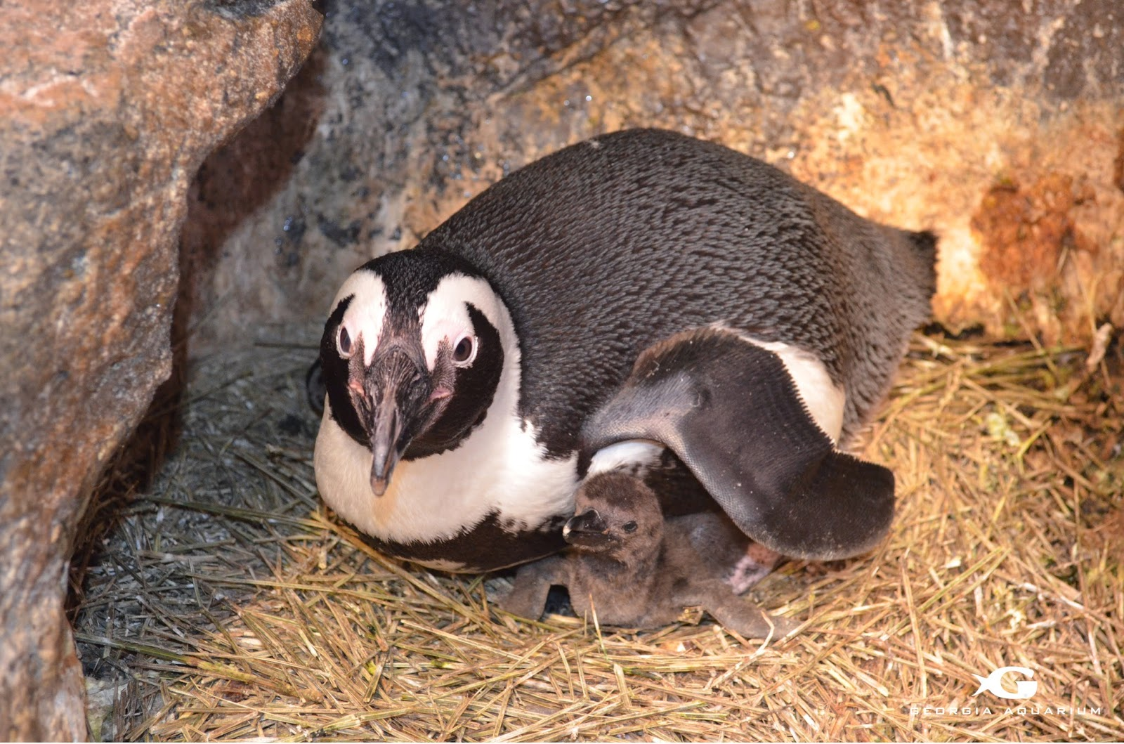 Happy Valentine's Day The Penguin Chicks Are Here!  via www.productreviewmom.com