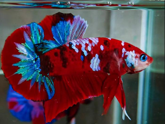 Gambar Ikan Cupang Koi Galaxy Cari