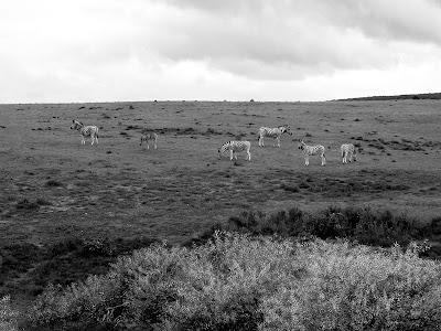 Addo Elephant National Park, Eastern Cape, South Africa, zebra, wildlife