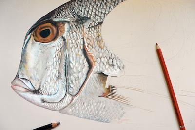 """Suite du dessin de la tête du poisson """"Pacific Porgy"""" estampillé Pepsi"""
