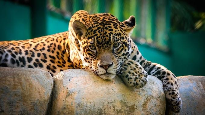 Papel De Parede Animal Leopardo