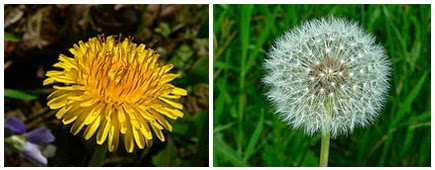 dandelion flower head and seed head