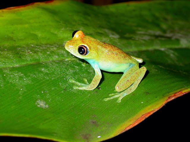 Boophis viridis