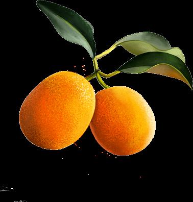 Κουμκουάτ: το πολύτιμο χρυσό πορτοκάλι.