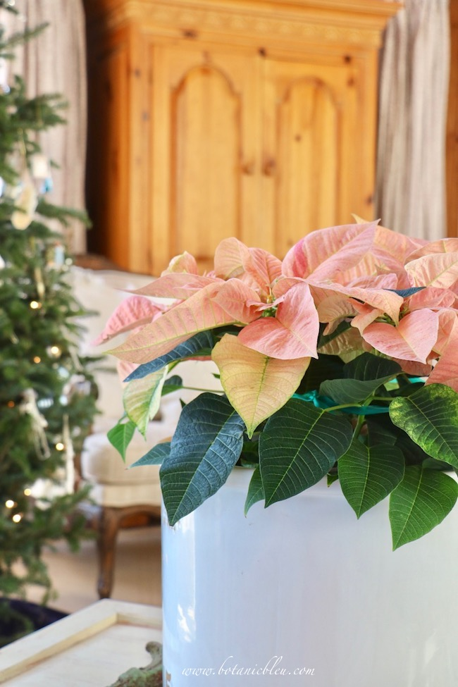 French country Christmas living room decorated with pink poinsettias in a large white crock