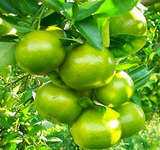 cara-menanam-jeruk-keprok.jpg