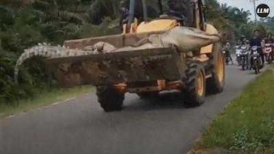 """Buaya """"Siluman"""" Raksasa Berhasil Ditangkap di Bangka Belitung"""