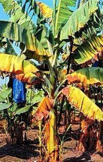 Doença Raça 4 Tropical se aproxima do Brasil e pode causar a Extinção da Plantação de Banana